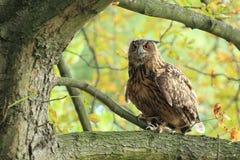 Eagle-coruja euro-asiática Fotos de Stock