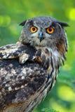 Eagle-coruja euro-asiática Foto de Stock
