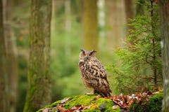 Eagle-coruja euro-asiática em mais forrest Fotos de Stock