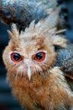Eagle-coruja filipino Fotografia de Stock