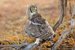 Eagle-coruja manchada - deserto de Kalahari foto de stock