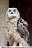Eagle-coruja nova Imagens de Stock Royalty Free