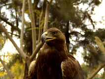 Eagle in countryside. Portrait of true eagle in countryside with trees in background Stock Image