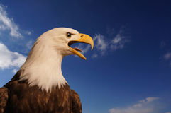 Eagle criard Images stock