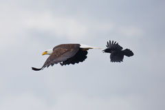 The eagle and the crow Royalty Free Stock Photos