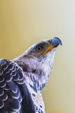Eagle Crowned Royalty Free Stock Images
