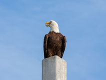 Eagle Cry Royalty Free Stock Photography