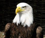 Eagle curieux Images libres de droits