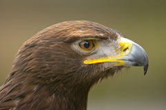 Eagle d'or Images libres de droits