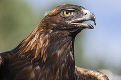 Eagle d'or Photos stock