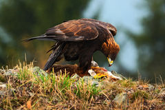 Eagle d'or, alimentant sur le Fox rouge de mise à mort, dans l'habitat de forêt de nature, la Norvège Photo stock