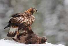 Eagle d'or avec le Raton laveur-chien Photographie stock