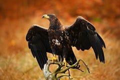 Eagle dalla coda bianca, albicilla del Haliaeetus, atterrante sul ramo di albero, con erba marrone nel fondo Atterraggio dell'ucc Fotografia Stock Libera da Diritti