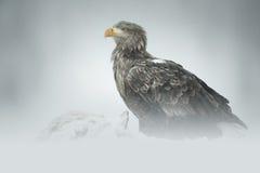 Eagle dalla coda bianca Immagini Stock Libere da Diritti
