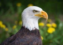 Eagle With Dandelion Flowers calvo fotografie stock libere da diritti
