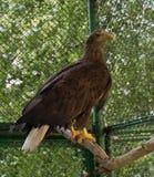 Eagle dans la cage Photos stock