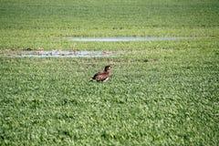 Eagle dans le domaine photographie stock libre de droits