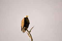Eagle dans le matin Photo stock