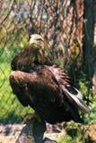 Eagle dans le support de cage sur un portrait en pierre Image libre de droits