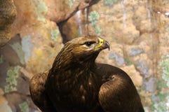 Eagle dans les roches Photo libre de droits
