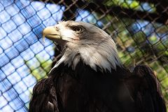 Eagle dans une cage images stock