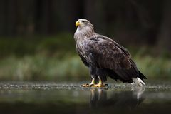 Eagle in dark lake. White-tailed Eagle, Haliaeetus albicilla, flight above water river, bird of prey with forest in background, an stock photo