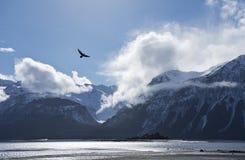 Eagle, das über den Chilkat-Einlass fliegt Stockbild