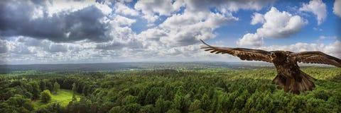 Eagle, das über grünen Wald fliegt Lizenzfreies Stockbild