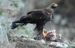 Eagle, das Aas auf dem Gebiet isst Stockbild