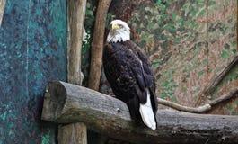 Eagle, das auf dem hölzernen Klotz sitzt Stockfotos