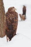 Eagle, das auf dem schneebedeckten Hügel steht Lizenzfreie Stockfotos