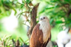 Eagle, das auf der Niederlassung sitzt, Blatt verwischte grünes Natur backgroun Stockbild