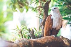 Eagle, das auf der Niederlassung sitzt, Blatt verwischte grünes Natur backgroun Stockfotografie