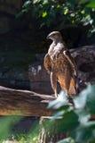 Eagle, das auf einem Baum steht Lizenzfreie Stockfotos