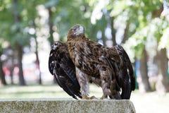 Eagle, das auf einem Felsen sitzt Stockfotos