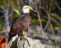 Eagle, das auf einem Felsen sitzt Lizenzfreie Stockfotos