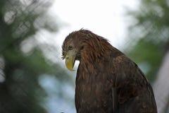 Eagle, das auf einem unscharfen Hintergrund sitzt Lizenzfreie Stockbilder