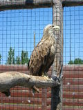 Eagle, das auf einer Niederlassung im Zoo sitzt Stockfotografie