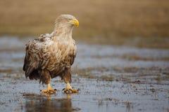 Eagle, das auf Eis sitzt Stockbilder