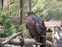 Eagle, das auf ihr Opfer wartet, um zu jagen Lizenzfreies Stockfoto