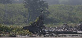 Eagle, das auf Treibholz auf der Küste an Rialto-Strand stillsteht Olympischer Nationalpark, WA Stockbilder