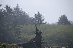 Eagle, das auf Treibholz auf der Küste an Rialto-Strand stillsteht Olympischer Nationalpark, WA Lizenzfreies Stockfoto