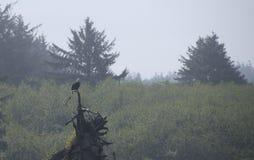 Eagle, das auf Treibholz auf der Küste an Rialto-Strand stillsteht Olympischer Nationalpark, WA Lizenzfreies Stockbild