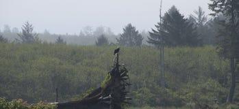 Eagle, das auf Treibholz auf der Küste an Rialto-Strand stillsteht Olympischer Nationalpark, WA Lizenzfreie Stockbilder
