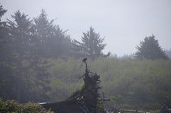 Eagle, das auf Treibholz auf der Küste an Rialto-Strand stillsteht Olympischer Nationalpark, WA Stockfoto