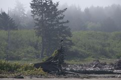 Eagle, das auf Treibholz auf der Küste an Rialto-Strand stillsteht Olympischer Nationalpark, WA Stockfotos