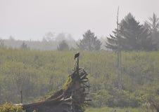 Eagle, das auf Treibholz auf der Küste an Rialto-Strand stillsteht Olympischer Nationalpark, WA Lizenzfreie Stockfotos