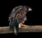 Eagle, das an der Niederlassung sitzt und zurück auf Schwarzem lokalisiert schaut Stockbild