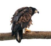 Eagle, das an der Niederlassung sitzt und zurück auf Weiß lokalisiert schaut Lizenzfreies Stockbild