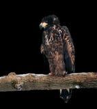 Eagle, das an der Niederlassung und an Denken lokalisiert auf Schwarzem sitzt Lizenzfreie Stockfotografie